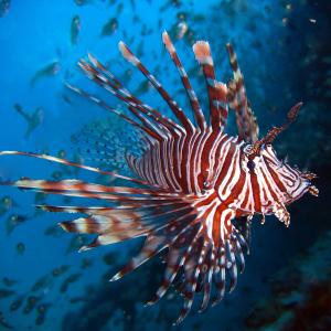 pesce-scorpione